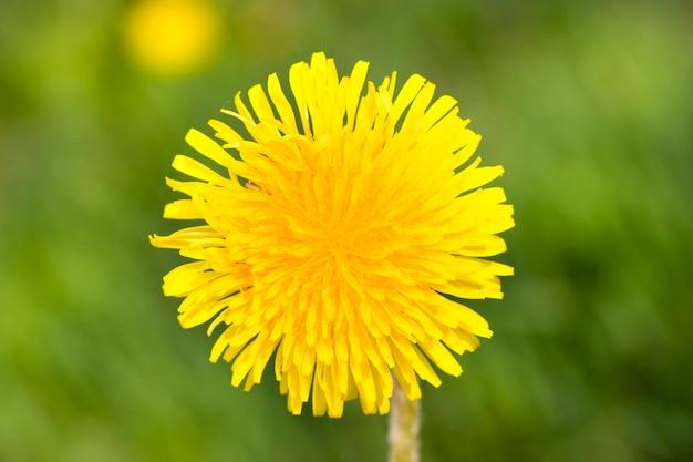 Sluit omhoog op gele paardebloem