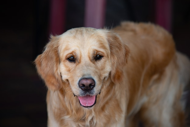 Sluit omhoog op golden retriver labrador hond