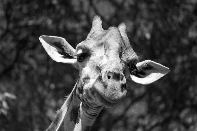 Sluit omhoog op het hoofd van de giraf in aard