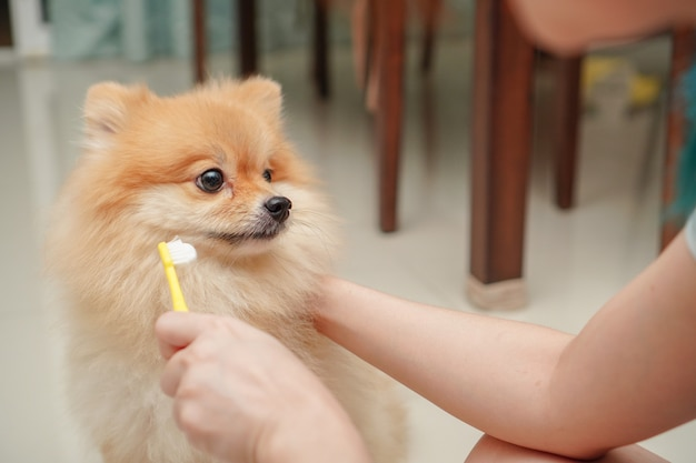 Sluit omhoog op huisdier, klein hondenras voor pomeranian, het die zich op de granietvloer bevinden en de eigenaar treft voorbereidingen om huisdierentanden te borstelen