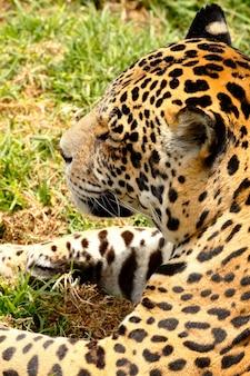 Sluit omhoog op jaguarportret in aard