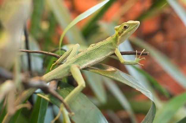 Sluit omhoog op leguaan casquehead leamanctus longipes