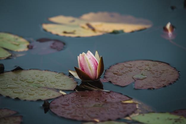 Sluit omhoog op leliebloem op water