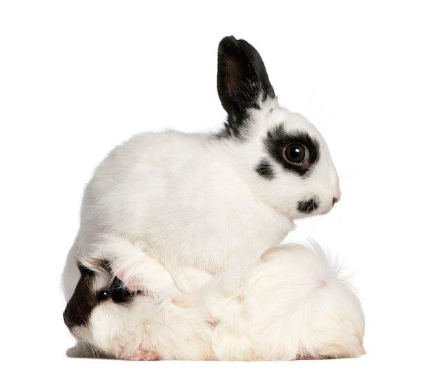 Sluit omhoog op leuk geïsoleerd konijn en cavia