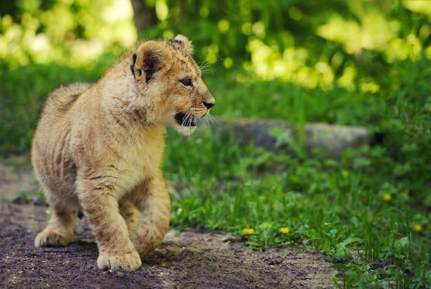 Sluit omhoog op leuke leeuwwelp in dierentuin