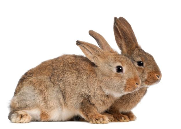 Sluit omhoog op mooi geïsoleerd konijn Premium Foto