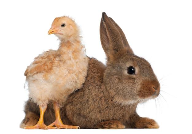 Sluit omhoog op mooi konijn met geïsoleerd kuiken