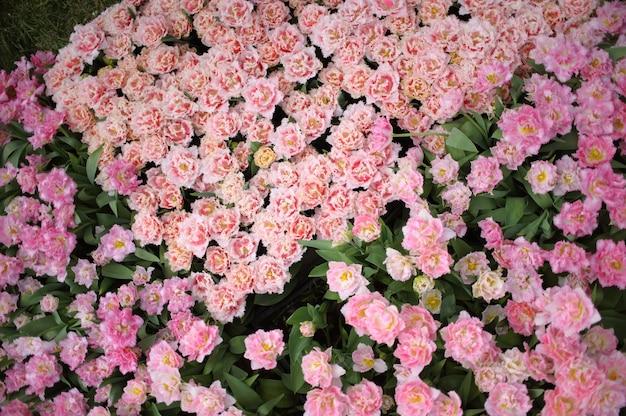 Sluit omhoog op mooie bloeiende tulpen