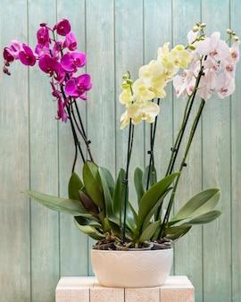 Sluit omhoog op mottenorchideeën in de pot