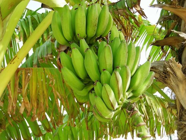 Sluit omhoog op rauwe bananen in de jungle