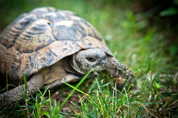 Sluit omhoog op reptielenschildpad op het gras