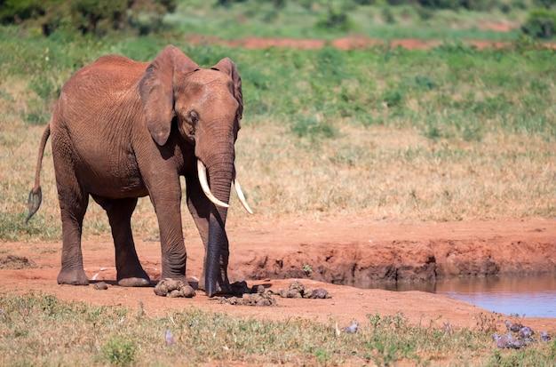 Sluit omhoog op rode olifant in de savanne