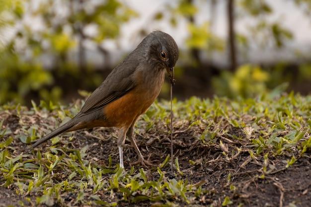 Sluit omhoog op vogel die regenworm in tuin eet