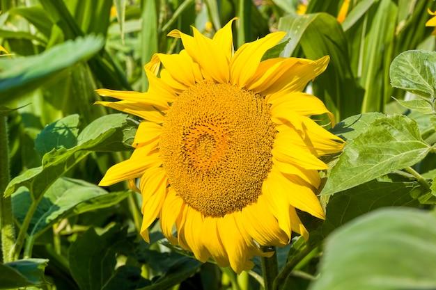 Sluit omhoog op zonnebloem met gele bloemblaadjes
