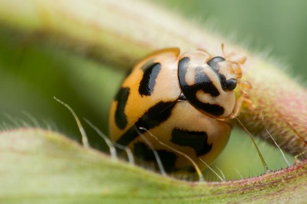 Sluit omhoog oranje lieveheersbeestje op een groen blad