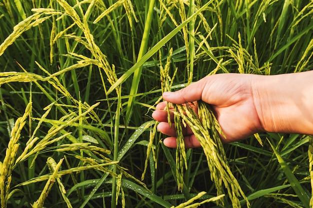 Sluit omhoog paddy rice-gebied met hand