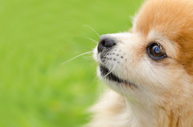 Sluit omhoog portret van gember pomeranian-spitz hond in profiel