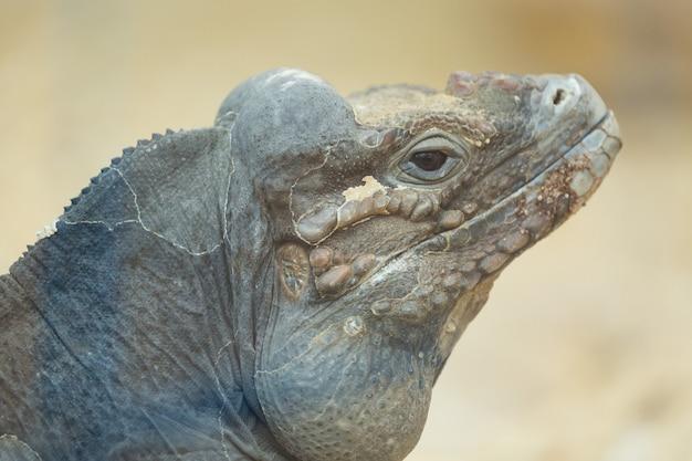 Sluit omhoog portret van hoofd van een rinocerosleguaan