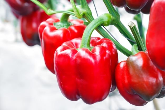 Sluit omhoog rijpe rode groene paprika in serres de landbouw