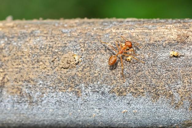 Sluit omhoog rode mier op boom op aardachtergrond in thailand