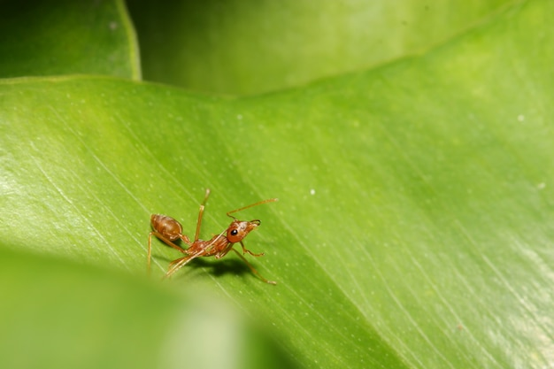 Sluit omhoog rode mier op groen blad in aard in thailand