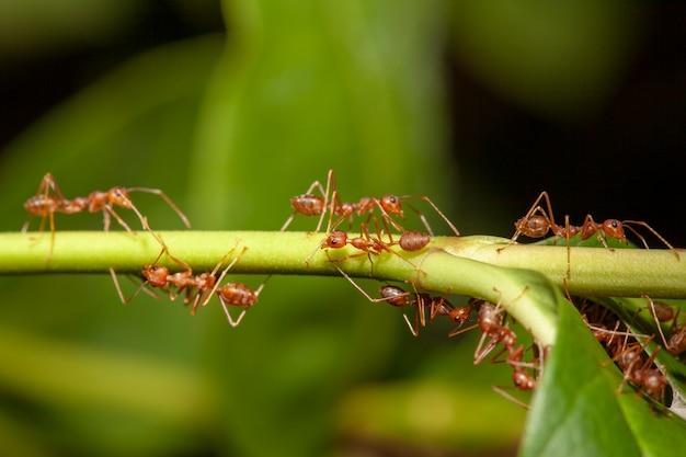 Sluit omhoog rode mier op stokboom in aard in thailand