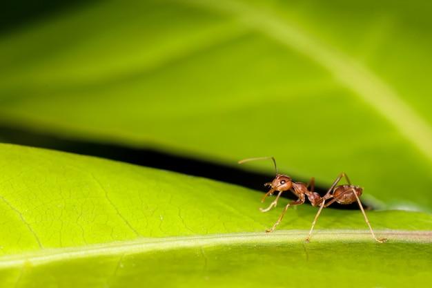 Sluit omhoog rode mier op vers blad in aard