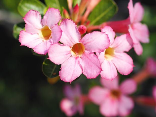 Sluit omhoog roze bloem, adenium obesum (desert rose; impala lily; mock azalea) en groene bladeren