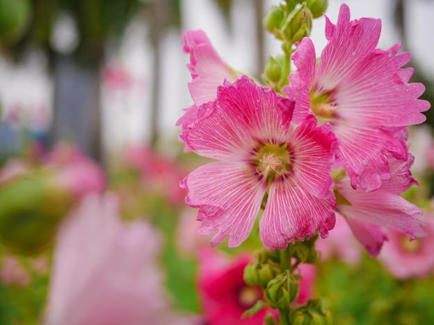 Sluit omhoog roze bloemen in de tuin op vage achtergrond