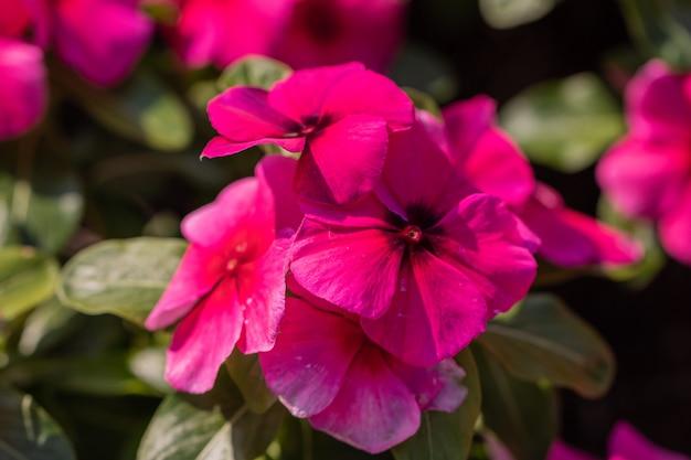 Sluit omhoog roze de maagdenpalmbloem van madagascar in een tuin.
