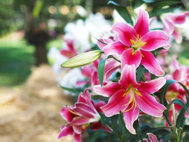 Sluit omhoog roze leliebloem bij landbouwbedrijf.