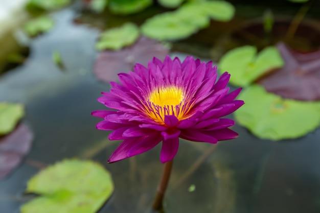 Sluit omhoog roze lotusbloembloem