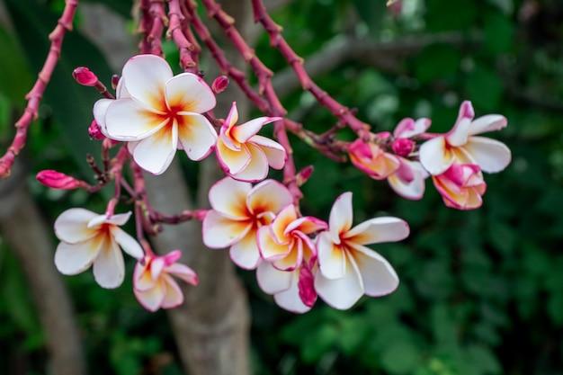 Sluit omhoog roze, witte en gele plumeria-bloemen in een tuin. de tropische bloem vanrangipani, plumeria-bloem is bloei.