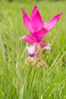 Sluit omhoog siam tulip (krachiew-bloemen) en sprinkhaan op gebied