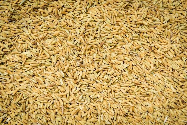Sluit omhoog stapel van de ruwe korrel van het padiezaad - de achtergrond van de rijsttextuur, hoogste mening