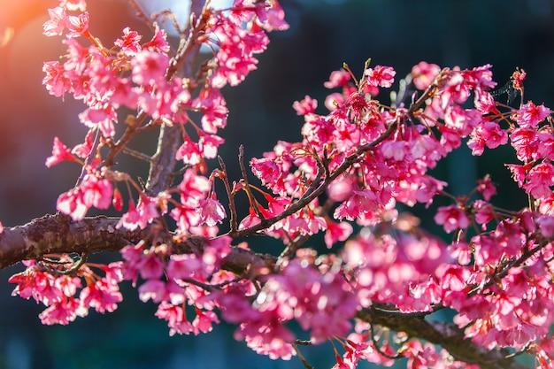 Sluit omhoog tak van roze kersenbloesem in chiang mai thailand