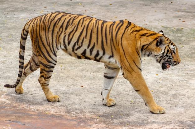 Sluit omhoog tijger op cementvloer in thailand