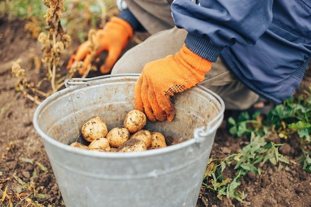 Sluit omhoog van aardappels in vuile mannelijke handen
