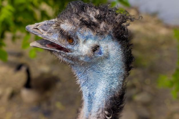 Sluit omhoog van australische blauwe emoe met open mond op aardachtergrond..