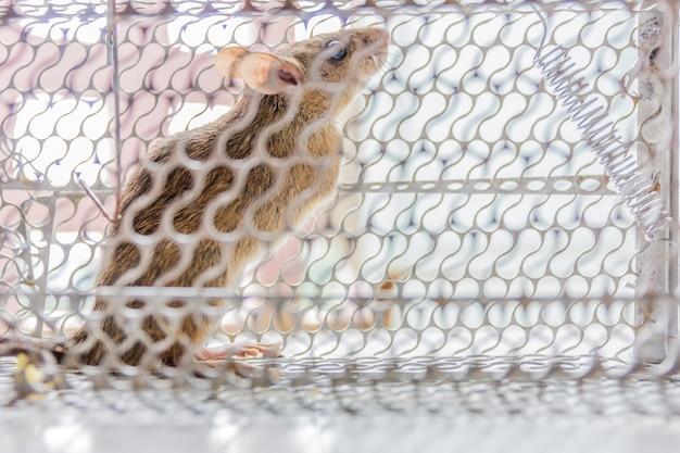 Sluit omhoog van bezorgde die rat opgesloten en in metaalkooi wordt gevangen