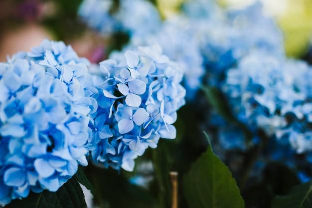 Sluit omhoog van blauwe hydrangea hortensia