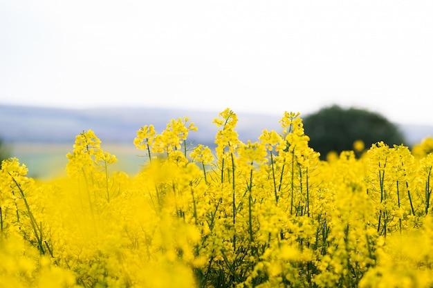 Sluit omhoog van bloeiende gele installaties op landbouwbedrijfgebied
