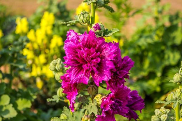 Sluit omhoog van bloeiende stokroosbloem met onduidelijk beeldachtergrond.