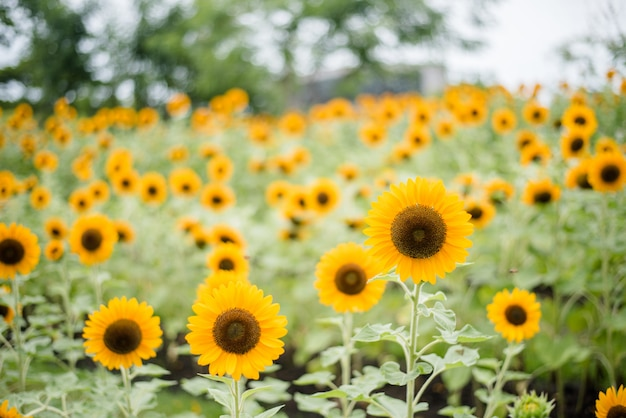 Sluit omhoog van bloeiende zonnebloem op het gebied met vage aardachtergrond.