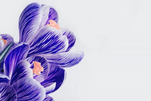 Sluit omhoog van bloemblaadjesbloemen. de de lentekrokus komt blauwe kleuren met exemplaarruimte tot bloei. natuurlijke bloemrijke achtergrond