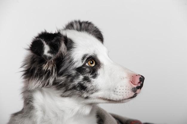 Sluit omhoog van border collie-puppy