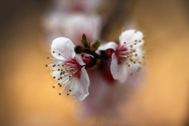 Sluit omhoog van breekbare de abrikozen tot bloei komende bomen van de kersenappel.