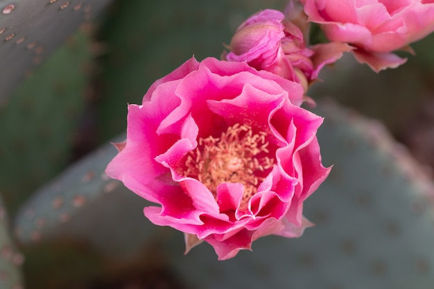 Sluit omhoog van cuctus in bloei met roze bloemen.