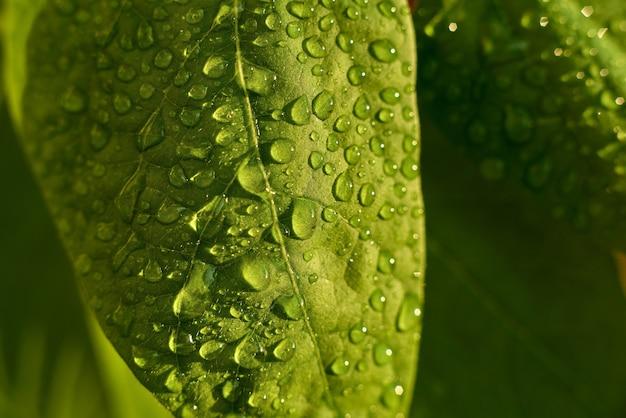 Sluit omhoog van de bladeren van de lange boneninstallatie, yardlong-boon, de bladeren van de aspergeboon