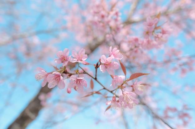 Sluit omhoog van de bloem van de kersenbloesem tijdens hanami-festival